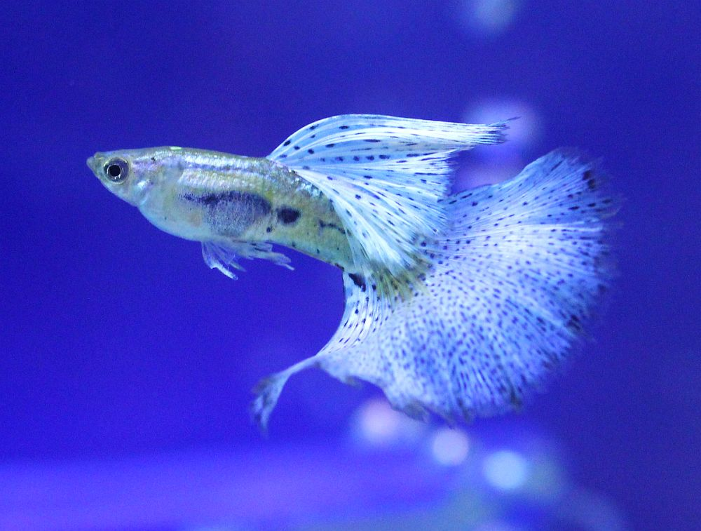 Guppy fish facts aquarium fishes guppy fish information for Freshwater fish facts
