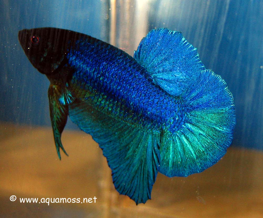 Aquarama 07 asia 39 s largest ornamental and aquatic fish show for Largest betta fish