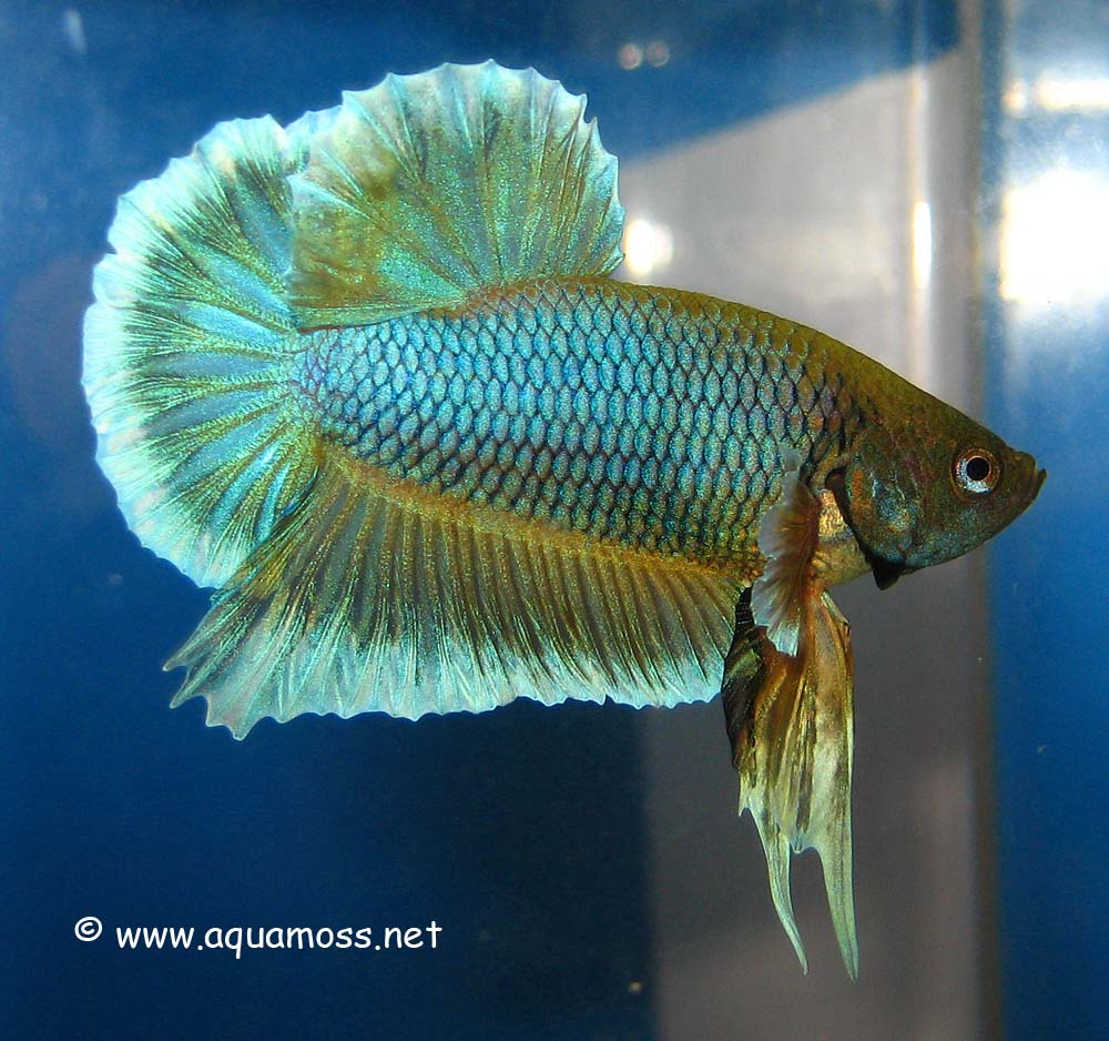 Aquarama 07 asia 39 s largest ornamental and aquatic fish show for Biggest betta fish