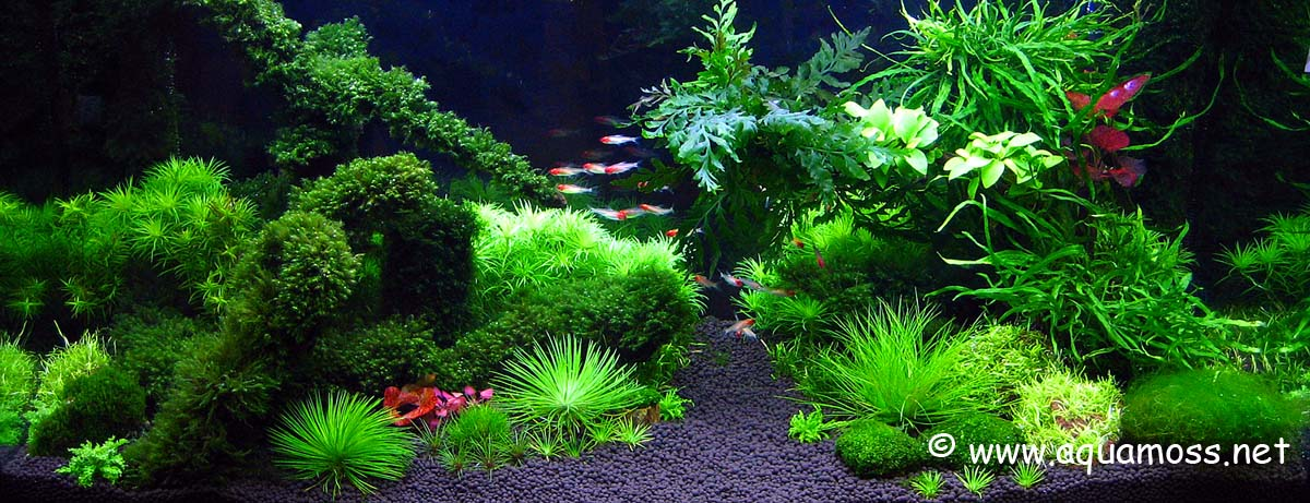 Aquatic moss how to grow aquatic moss info on java moss for Planted tank fish