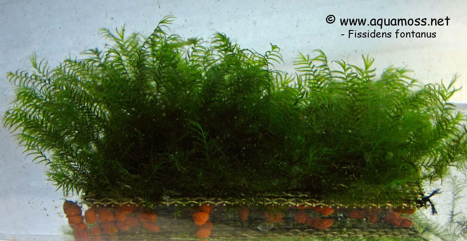 Phoenix Moss Fissidens Fontanus How To Grow Aquatic Moss