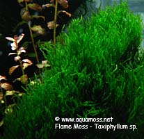 Flame Moss - Taxiphyllum sp.