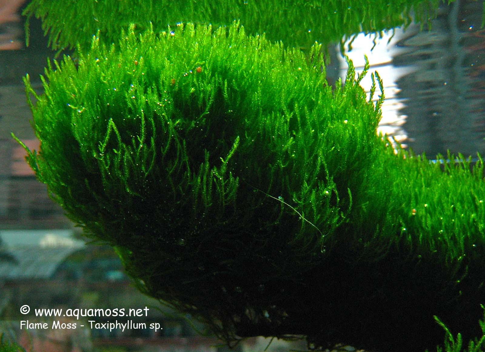 Plantas de acuario parte 2 taringa for Schuhschrank no name 05 sp