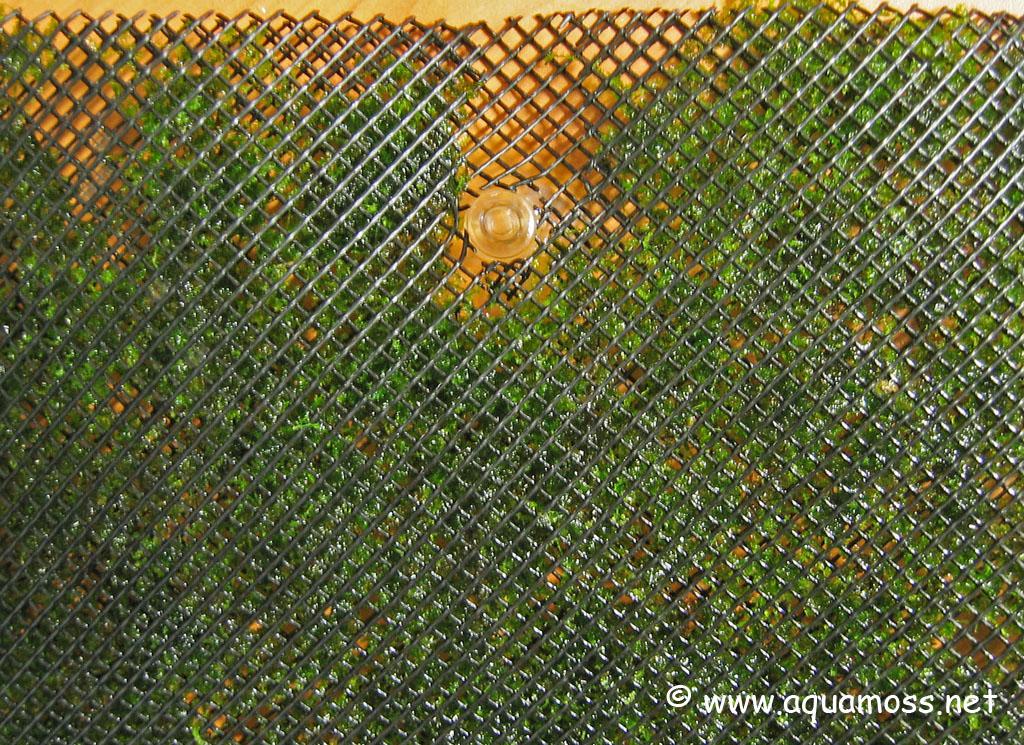 Taiwan moss Moss-Wall-07