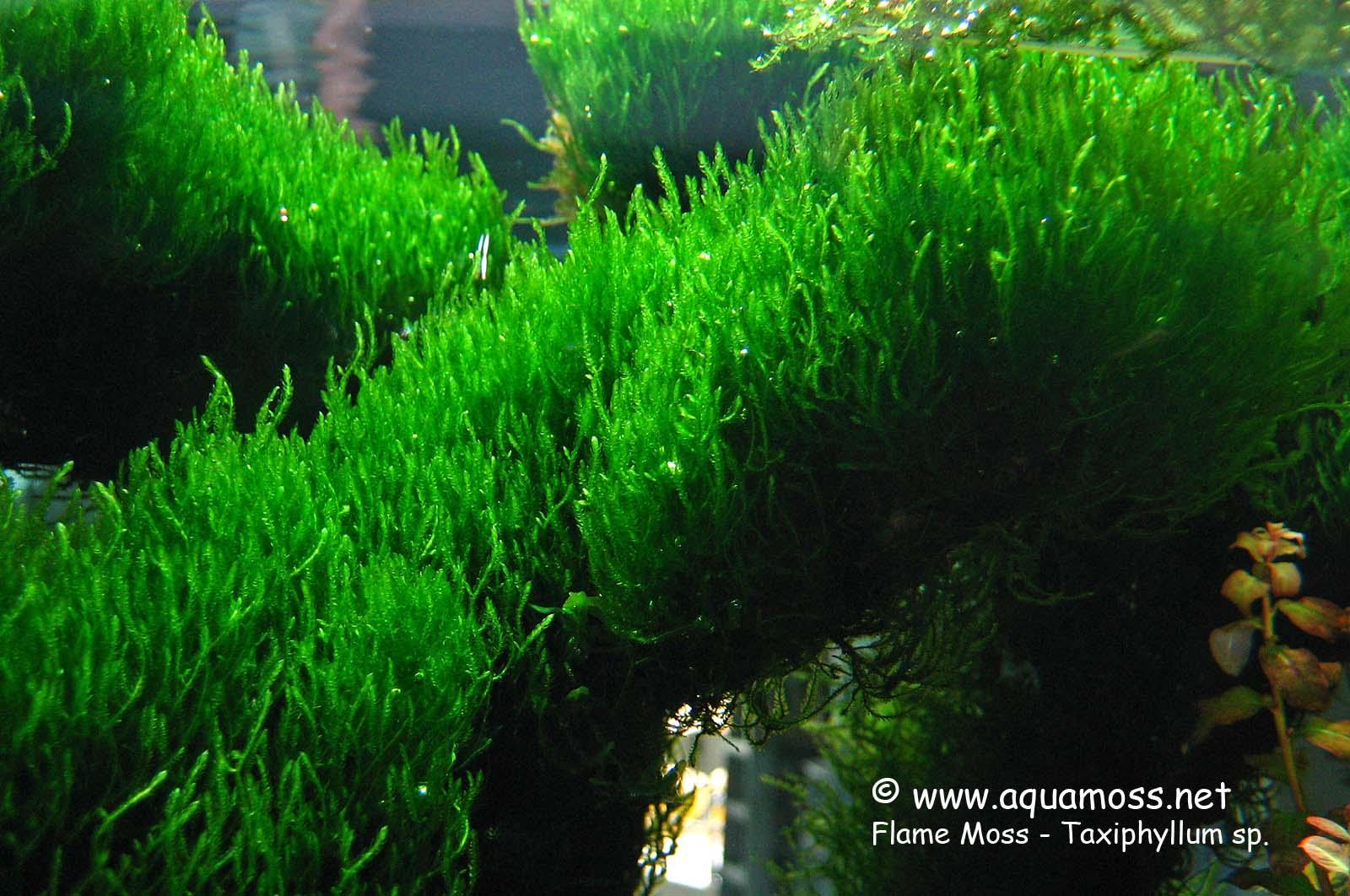 Flame Moss   Taxiphyllum Alternans