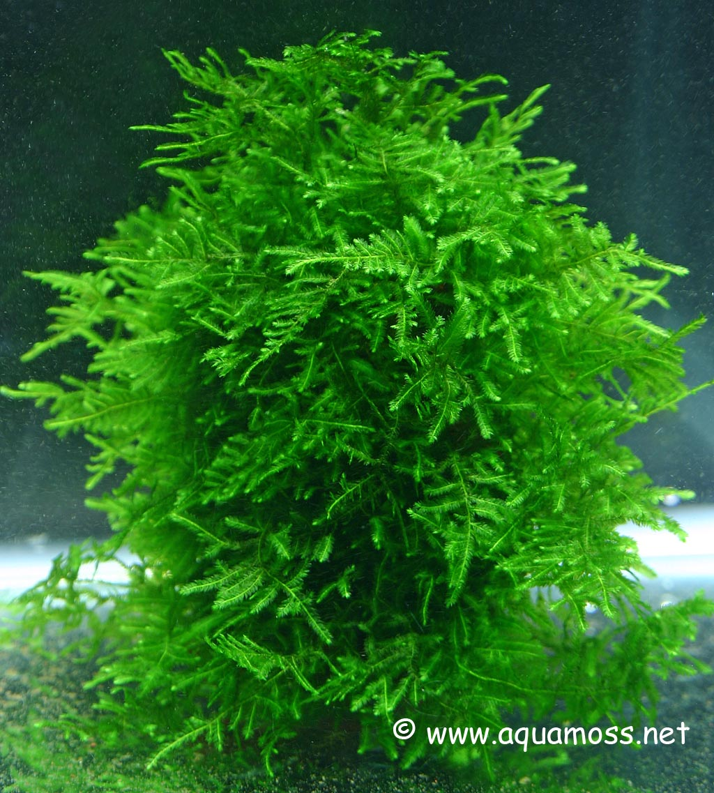 aquamoss list of aquatic moss peacock moss - Christmas Moss