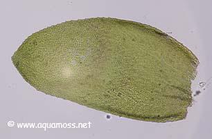 Aquatic Moss. How to grow Aquatic Moss.