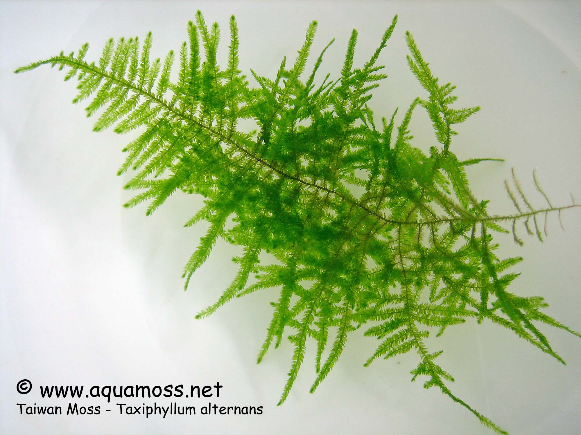 Aquatic Moss. How to grow Aquatic Moss. Info on Java Moss ...